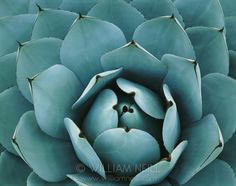 Agave parryi, Huntington Botanical Gardens, San Marino, California