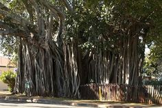 Banyan tree, a fig (ficus) tree, whose seeds settle in a crevice of a host tree (thanks to seed-loving birds, oftentimes) and grows its aerial roots of support — lending to its nickname, strangler fig.  They're protected trees in Florida.