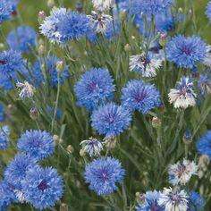 Cornflower 'Dwarf Blue Midget' - Hardy Annual Seeds - Thompson & Morgan