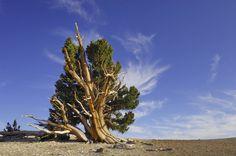 matusalem tree - Google претрага