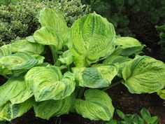 I have ~65 hostas now and the only one I consider having streaked leaves is a young Guardian Angel. I have read a lot of comments in HF about streaked hostas reverting back to green (being unstable). Which streaked leaf hostas have you had experience with where stability has not been an issue. Pictu...