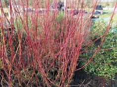 Cornus alba in Winter