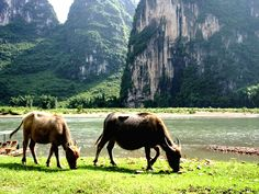 Li river ... the Buffloes