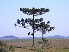 Araucaria angustifolia, Araucária, Curi, Pinheiro-brasileiro, Pinheiro-caiová, Pinheiro-das-missões, Pinheiro-são-josé