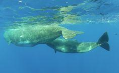 Sperm whales - Lobosonda's Blog | Madeira whale watching www.madeirawhalewatching.com
