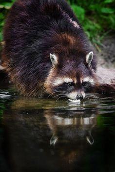 mirror (by Naturfotografie - Stefan Betz)?mirror mirror (by Naturfotografie - Stefan Betz) Gato Animal, Mundo Animal, Raccoon Animal, Amazing Animals, Animals Beautiful, Cute Baby Animals, Animals And Pets, Wild Animals, Tier Fotos