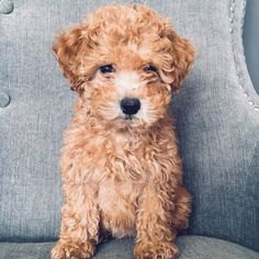 Curly caramel Goldendoodle puppy just for you!