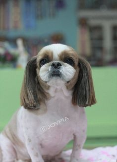 91 best dog grooming images on pinterest creative grooming korean dog grooming style shih tzu solutioingenieria Image collections