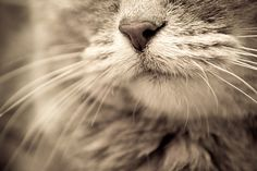 """Cats whiskers are so sensitive they can find their way through the narrowest crack in a broken heart."" --Author Unknown."