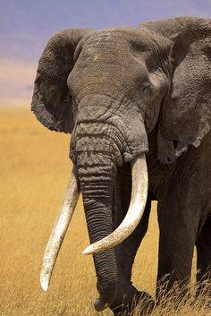 African Elephant- Robert Beam of Water Wild Elephant, Elephant Love, Elephant Art, Giraffe, Beautiful Creatures, Animals Beautiful, Cute Animals, Jurassic World, Elephants Never Forget