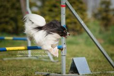 dog agility papillon
