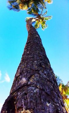 A coconut tree stretches up to meet a gorgeous blue #Caribbean sky. Photo courtesy: Rachel Charles