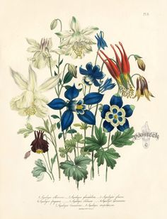 Aquilegia Skinneri Antique Prints by Jane Loudon