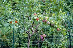 Árvore de 40 frutos