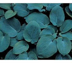 Hosta sieboldiana Elegans  Need this one!  Long the standard in blue-leaved Hostas. The rounded leaves measure up to 12in across and 30in tall under good culture, and the gray-green shading on both sides adds greatly to their appeal. The flowers of 'Elegans' are whitish and show in midsummer on 40in stems. Because this graceful beauty tolerates dry shade, we count it among the most valuable garden plants.