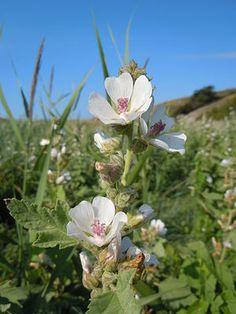 """""""Der Echte Eibisch (Althaea officinalis), auch Arznei-Eibisch genannt, gehört zur Familie der Malvengewächse (Malvaceae).""""  marshmellow Echter Eibisch (Althaea officinalis)"""