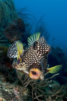 Smooth Trunkfish, Lactophrys trigueter, Boxfish From Coral Reef Photos via Elaine Reinhold