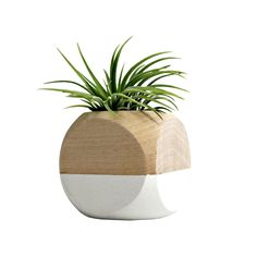 Color blocking isn't just for people; plants can get in on the action as well. Crafted specifically for air plants, this cube planter has been hand-painted with a striking white paint for look that is ...  Find the Cube Planter in White, as seen in the 3 Forgotten Lessons of Mid-Century Modern Design Collection at http://dotandbo.com/collections/3-forgotten-lessons-of-mcm-design?utm_source=pinterest&utm_medium=organic&db_sku=SAA0001-wht
