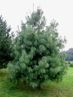 Pinus wallichiana_Himalajine