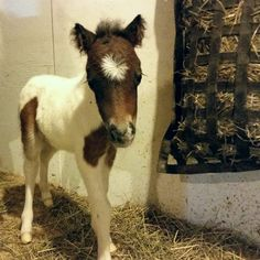 #LittleHoovesFoalingShow | A new colt we took last night. He's very cute!