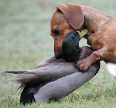 Cute dachshund hugging a duck