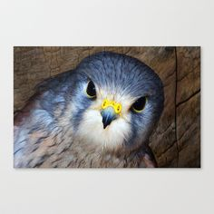 Kestrel in close-up Stretched Canvas by F Photography and Digital Art - $85.00