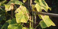 Αντιμετώπιση του τετράνυχου στον κήπο Plant Leaves, Fruit, Flowers, Plants, Gardening, Decoration, House, Lawn And Garden, Decor