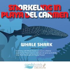 You can swim with whale sharks (who are the size of roughly four Priuses!) from June through August! CondoHotelsPlayadelCarmen.com