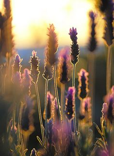 Lavender in the morning