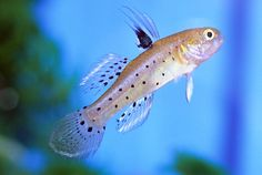 Knight goby