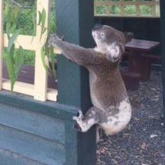 Punish Sicko Who Nailed Koala Corpse to a Post