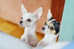 cute Chihuahua Girls