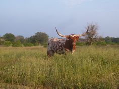 Young Longhorn cow.  www.lapistolalonghorns.com