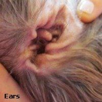 Shih Tzu Ear Cleaning with video
