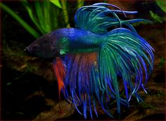Crowntail Betta fish named Zaffery <3