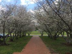 Campus beauty. Wesleyan College cherry blossoms Macon, GA