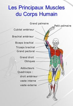 muscles and fitness Human Body Anatomy, Muscle Anatomy, Basic French Words, Medical Drawings, Forearm Muscles, Medicine Student, Medical Anatomy, Med Student, Muscle Fitness