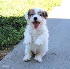 12 Best Shorty Jack Puppies In Colorado Images Puppies