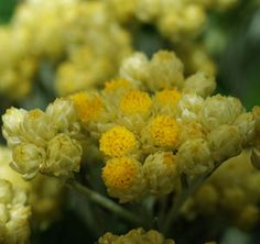 Helichrysum italicum, packet of 100 seeds, organic, perennial, skin, acne, burns, abrasions, wounds, full sun
