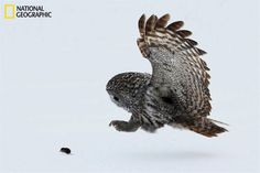 Great Gray Owl preparing for a shrew supper... - Photo by Terry Crayne/National Geographic