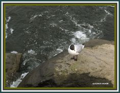 2008 series of seasonSummer Location of captureHelsinki Finland Gull, Digital Photography, Finland, Birds, Sea, Life, Animals, Animales, Animaux