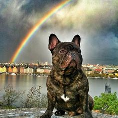 Boss, the most popular French Bulldog in Sweden, he even has a personal Rainbow ; )