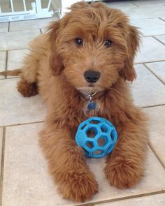 Goldendoodle...so stinkin cute! Best dogs ever