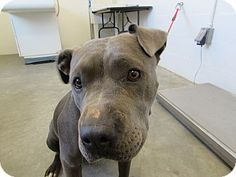 Kennel 32 - URGENT - Corona Animal Shelter in Corona, California - ADOPT OR FOSTER - 2 year old Female Pit Bull Terrier Mix
