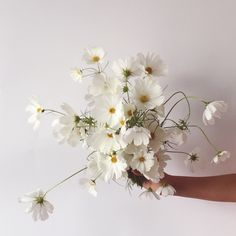 An elegance of a single specimen with the free-form styling of a wild bouquet. Cosmos Flowers, Spring Flowers, White Flowers, Beautiful Flowers, Single Flower Bouquet, Bouquet Champetre, Flower Aesthetic, Ficus, Bridal Flowers