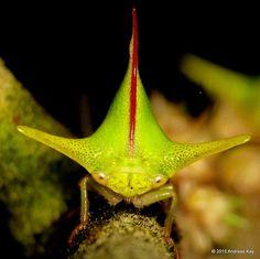 Treehopper, Alchisme grossa?