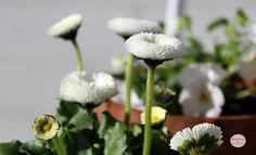 Anemoner - blomster - flowers - whiteflower - whtie - mygarden - spring - forår - haveglæde - Havets Sus