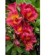 Oxana® Princess Lilies® (Alstroemeria x 'Staprioxa' P.P.# 14075)