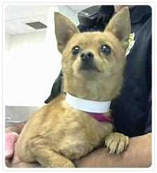Phoenix, AZ - Chihuahua Mix. Meet PROFESSOR, a dog for adoption. ***Act quickly to adopt PROFESSOR. Pets at this shelter may be held for only a short time.*** Maricopa County Animal Care & Control - West Shelter http://www.adoptapet.com/pet/14391323-phoenix-arizona-chih…