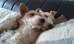 515 best images about Fox terriers Fox Terriers, Wirehaired Fox Terrier, Wire Fox Terrier, Airedale Terrier, Terrier Puppies, Pet Dogs, Dog Cat, Doggies, Wire Haired Terrier